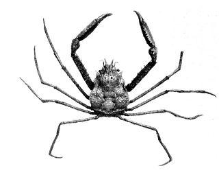 <i>Oregonia bifurca</i> species of crustacean