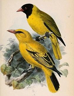 Oriolus nigripennis & Oriolus auratus notatus 1870.jpg