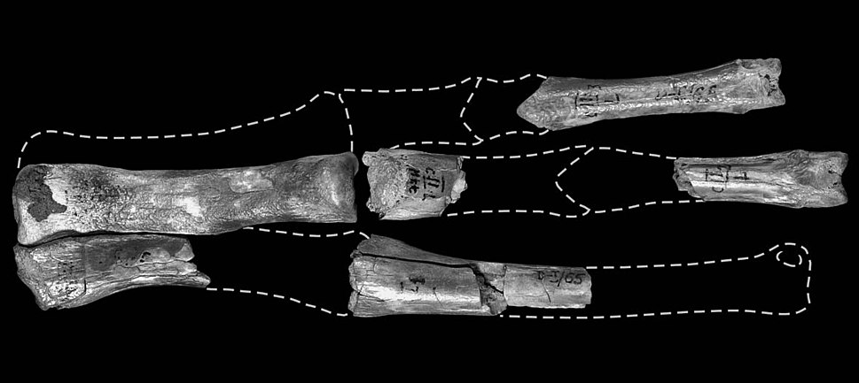 Ornithomimid hand