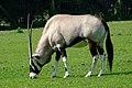 Oryx gazella -Marwell Wildlife, Hampshire, England-8a.jpg