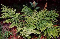 definition of osmundaceae