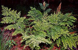 Osmundaceae - Osmunda regalis