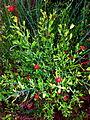 Osyris alba con frutos.JPG