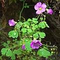 Oxalis rosea (8658804573).jpg