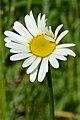Oxeye Daisy (Leucanthemum vulgare) - Guelph, Ontario 2020-06-07 (01).jpg