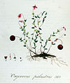 Oxycoccus palustris — Flora Batava — Volume v5.jpg