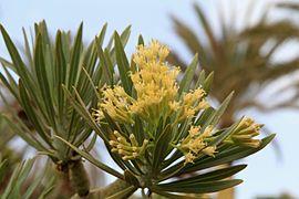 What Will I Look Like When I Grow Up >> Kleinia neriifolia - Wikipedia