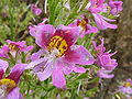 P1000505 Schizanthus wisetonensis (Angel Wings) (Solanaceae) Flower.JPG