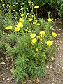 P1000591 Anthemis tinctoria (Yellow Chamomile) (Compositae) Plant.JPG