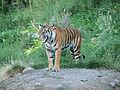 PDZA Tiger.jpg