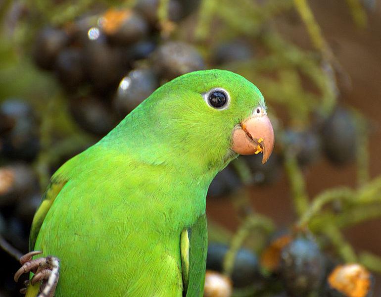 Ficheiro:PERIQUITO-RICO ( Brotogeris tirica) (2087239475).jpg