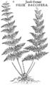 PSM V70 D507 American ferns.png
