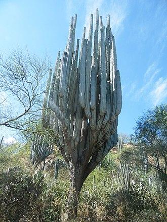 Tehuacán-Cuicatlán Biosphere Reserve - Image: Pachycereus weberi (5758620915)