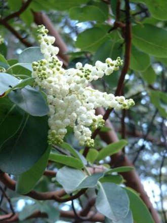 Arbutus menziesii - In spring, it bears sprays of small, white, bell-shaped flowers.