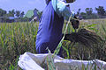 Paddy Field Farmer B.JPG