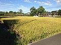 Paddy field in Yanagawa, Fukuoka.JPG