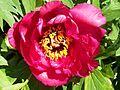 Paeonia-Art im Botanischen Garten Erlangen.JPG