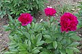 Paeonia lactiflora 'Irwin Altman' (Pivoine de Chine) - 112.jpg