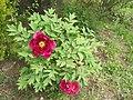 Paeonia suffruticosa BG.jpg