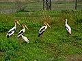 Painted stork IMG 5073.jpg