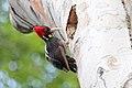 Pale-billed Woodpecker (Campephilus guatemalensis) (7222891238).jpg