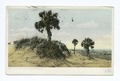 Palmettoes on Tybee Island, Savannah, Ga (NYPL b12647398-62418).tiff