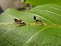Panaphis juglandis and Crematogaster scutellaris 03.jpg