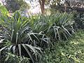 Pandanus at Cairo by Hatem Moushir 2.jpg