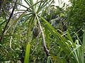 Pandanus furcatus (5661210982).jpg