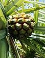 Pandanus heterocarpus fruit Rodrigues 3.jpg