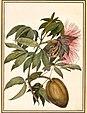 Louise von Panhuys: Blüte und Frucht des wilden Surinamischen Cacao (1812)