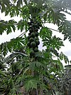 Papaya tree DRC.jpg