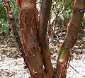 Paperbark Maple, Paper Bark Maple (Acer griseum).jpg