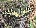 Papilio machaon from Algeria.jpg