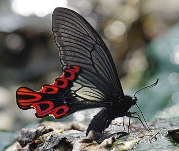 A male Papilio maraho butterfly. The species is endemic to Taiwan.