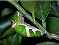 Papilio memnon Of before becoming the chrysalis0910.jpg