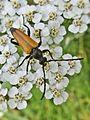 Paracorymbia fulva (Cerambycidae sp.), Arnhem, the Netherlands.jpg