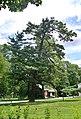 Park przy muzeum kochanowskiego sosna.jpg