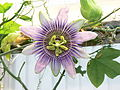 Passiflora × belottii 001.jpg