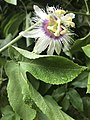 Passion fruit flower with its leaf.jpg