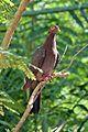Patagioenas squamosa in Barbados a-13.jpg