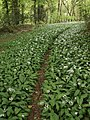 Path through ramsons - geograph.org.uk - 421278.jpg