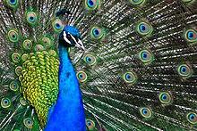 external image 220px-Pavo_cristatus_-Cincinnati_Zoo%2C_Ohio%2C_USA-8a.jpg