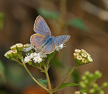 Pea Blue (Lampides boeticus) on Eupatorium odoratum at Samsing, Duars, West Bengal W IMG 6012.jpg