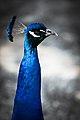 Peacock in profile.jpg