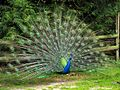 Peacock in the grounds of the Old Mill - geograph.org.uk - 3405.jpg