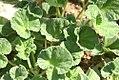 Pelargonium reniforme 0zz.jpg
