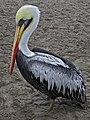 Pelican 3 (6235341405).jpg
