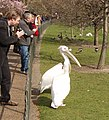 Pelican in St James's Park - geograph.org.uk - 379848.jpg