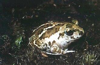 European spadefoot toad - Pelobates fuscus fuscus